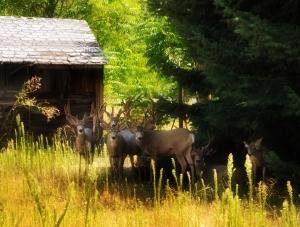 Brandon Sulser-backyard mulies