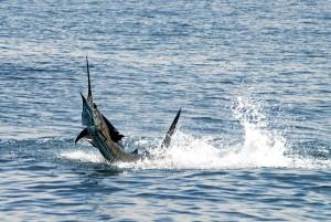 fishjumping3
