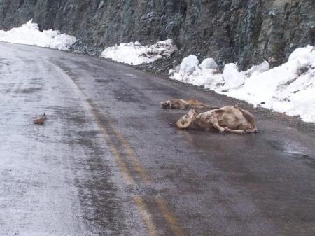 Cougar and Sheep