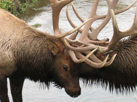 two bulls tangled-closeup