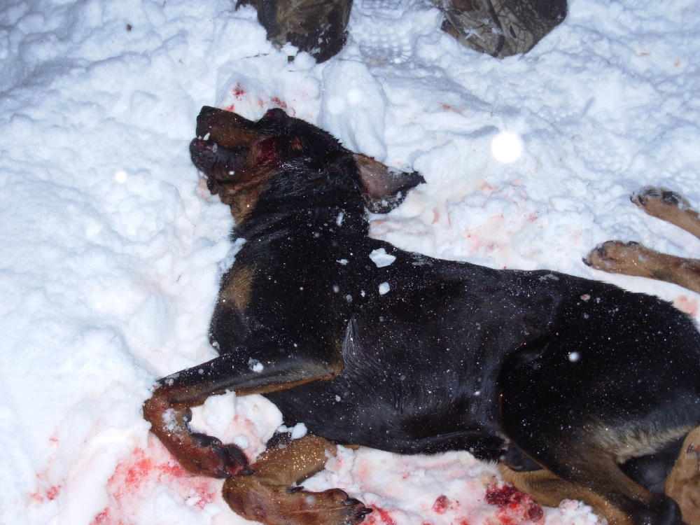 Wolves Kill Hunting Hounds The Great White Hunter