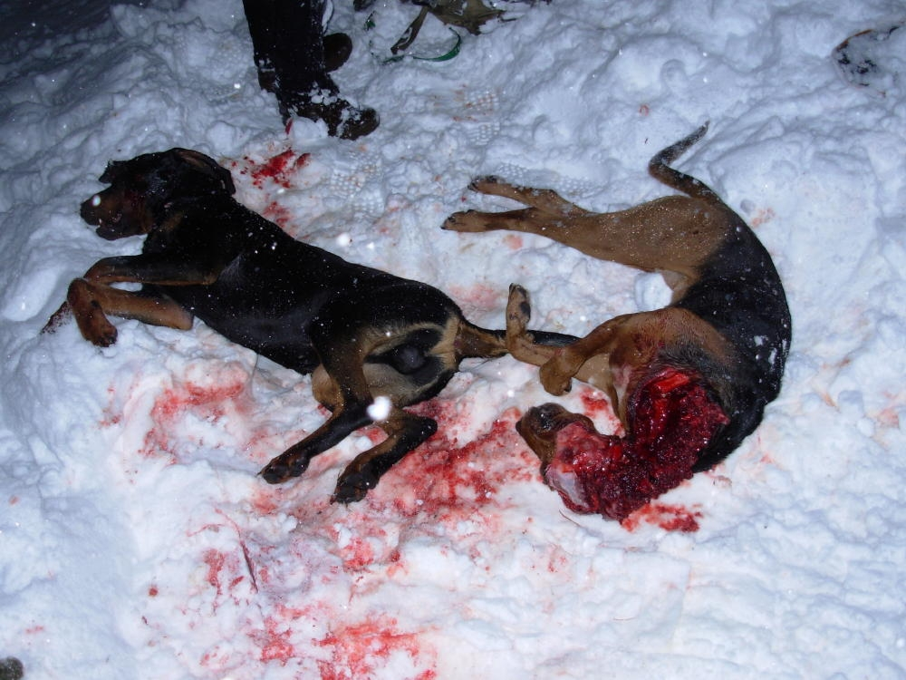 Wolves Kill Hunting Hounds