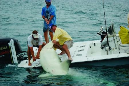 largest hammerhead shark - photo #19