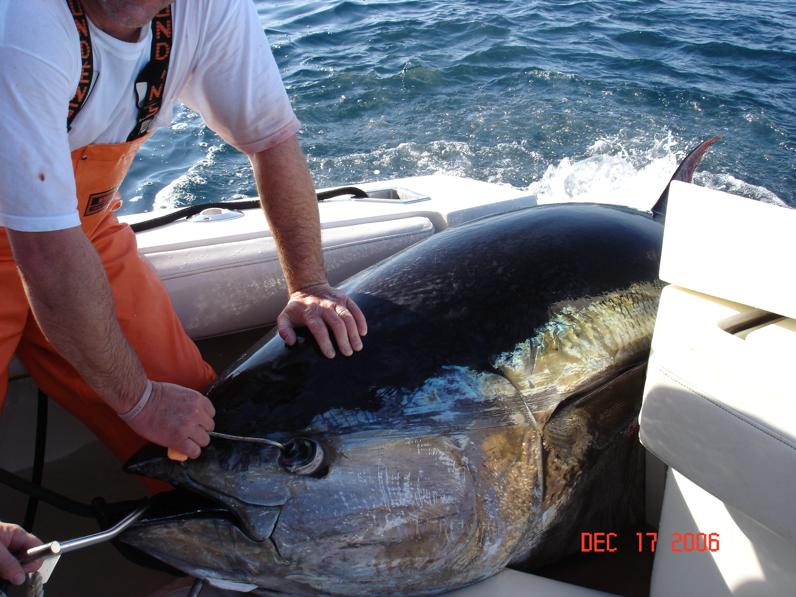 Battling giant tuna the great white hunter for What does a tuna fish look like